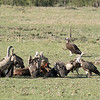 The early rains resulted in a time of plenty on the savannah.  Lions, leopards, and cheetahs had so much prey to choose from, carcasses littered the landscape.  Since food was everywhere, even the normally nasty-tempered vultures were polite while eating.