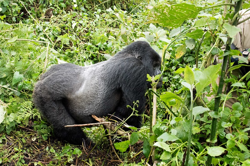 """The rest of this guy's story will be on youtube, but basically, he was busy munching on branches when we arrived.  He was no more than 5 feet from us, but he was undisturbed.  I asked the head ranger if I could move a branch which was blocking my view.  He told me the branch was the gorilla's food and to stay away from it.  No problem.... I take direction well in these kinds of situations.  Not so for the couple who was traveling with us.  They were both in front of me when one of them, without asking, reached for the blocking branch.  At that point, the ranger shouted """"don't touch his food!"""", but the warning was ignored.  As soon as our companion's hand got close to the branch, the silverback charged.  Since he was so huge and so close, he hit me hard, knocking me to the ground trying to get to the offender. He just kept coming until the rangers managed to put themselves between us and the gorilla and got the humans moved back. This maneuvering was very difficult because we were in dense jungle with a floor of vines.  The head ranger grabbed the gorilla, at which point the gorilla got the ranger's arm and shoulder in his mouth, but thankfully he (the gorilla) was just issuing a warning and no serious damage was done.  At that point the silverback calmed down and moved away, but not before a tracker waved a machete in his face.  Very poor start for Sheri and me, but it's a story that will get better with age (especially once the bruises heal)."""