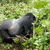 "The rest of this guy's story will be on youtube, but basically, he was busy munching on branches when we arrived.  He was no more than 5 feet from us, but he was undisturbed.  I asked the head ranger if I could move a branch which was blocking my view.  He told me the branch was the gorilla's food and to stay away from it.  No problem.... I take direction well in these kinds of situations.  Not so for the couple who was traveling with us.  They were both in front of me when one of them, without asking, reached for the blocking branch.  At that point, the ranger shouted ""don't touch his food!"", but the warning was ignored.  As soon as our companion's hand got close to the branch, the silverback charged.  Since he was so huge and so close, he hit me hard, knocking me to the ground trying to get to the offender. He just kept coming until the rangers managed to put themselves between us and the gorilla and got the humans moved back. This maneuvering was very difficult because we were in dense jungle with a floor of vines.  The head ranger grabbed the gorilla, at which point the gorilla got the ranger's arm and shoulder in his mouth, but thankfully he (the gorilla) was just issuing a warning and no serious damage was done.  At that point the silverback calmed down and moved away, but not before a tracker waved a machete in his face.  Very poor start for Sheri and me, but it's a story that will get better with age (especially once the bruises heal)."