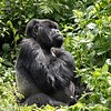 This is the dominant silverback.  I believe there were 22 gorillas in this family.