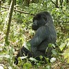 The first gorilla we encountered was this young silverback.