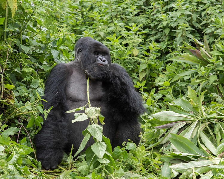Ok, so this wasn't a perfect experience.  For whatever reason, despite requests to the contrary, we were assigned to a trekking group headed straight up the mountain.... 3400 ft to be exact.... putting us at a staggering 9600 ft when we finally found gorillas. This is the dominant silverback, a HUGE guy who barely seemed to notice us (at first).