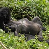 Nap time.  Gorillas make nighttime nests at sunset. Youngsters sleep with their moms, but everyone else sleeps alone.  During the day, naps can happen at any time.