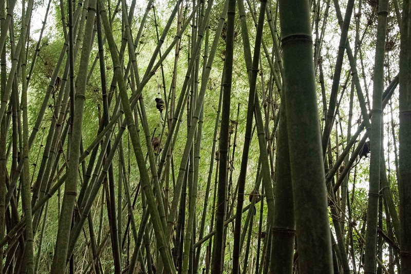 All the little blobs in the trees are monkeys.  Photos just can't capture the beauty of this bamboo forest.