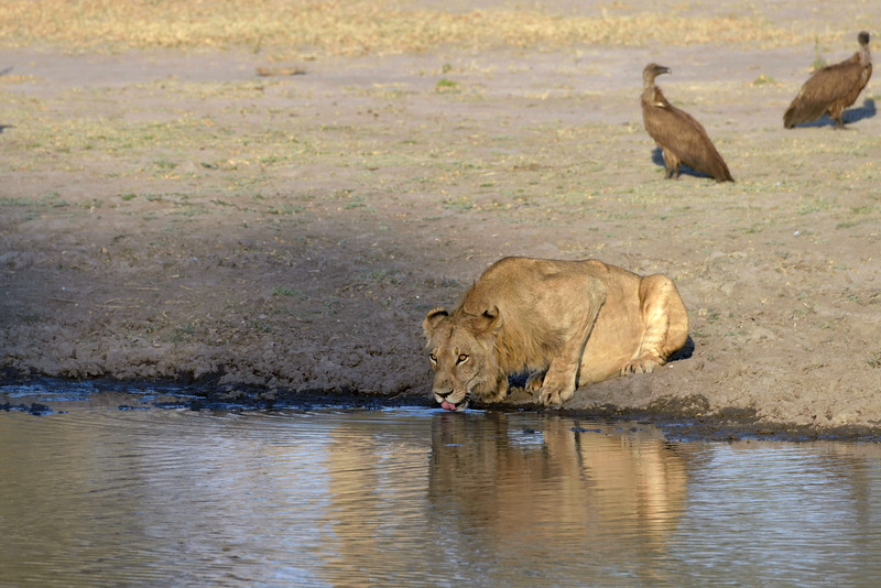 One of the lions went to the nearby pool to drink.  This had the effect of sending the predator birds flying for safety.