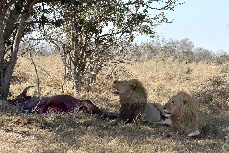 Within minutes they'd located these 2 male lion brothers with a fresh buffalo kill. The lions are watching the many vultures now arriving.