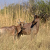 Tsessebe, the fastest of all the antelopes.