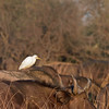Sunrise with a cattle egret hitching a ride