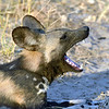 We headed back to the wild dogs in the late afternoon in hopes of hunting with them.