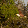 Fish eagle near the river bank.