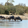 And these wildebeest