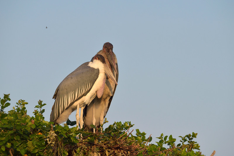 At the end of the navigable waterway, just inside Moremi National Park, we found these maribu storks, along with many other birds, at the beginning of their nesting season.