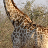 This giraffe had many oxpeckers on its body.  Our guide told us that meant the giraffe was old since it was hosting a lot of ticks which, in turn, attracted the oxpeckers.