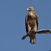 It was turning into quite the raptor morning.  This is a tawny eagle.