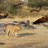 """Janice called this """"sauntering"""".  The lion paid absolutely no attention to the many scavengers in his way, never altering his straight-line course to the pool or back to the carcass."""