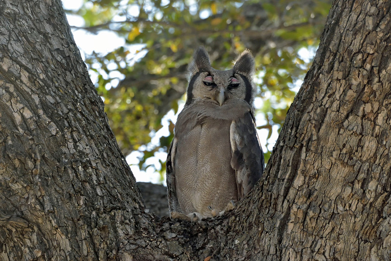 Last but not least was this giant eagle owl, aka Verreaux's owl