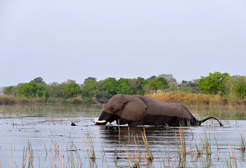Elephant crossing a channel