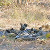 Amazingly, we actually found the wild dog pack - 16 pups, 15 adults.  The pups were big enough to leave the den and roam with the adults, so it's nothing short of a miracle that we located them.