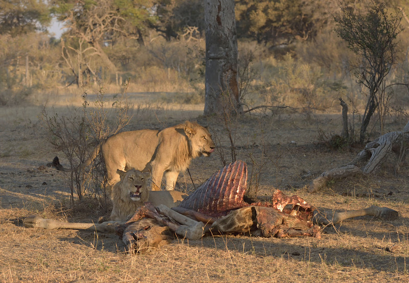 Both males at the carcass.