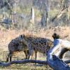 Hopeful hyenas socializing