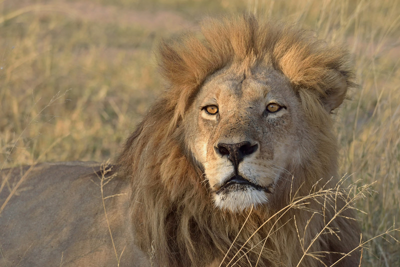 """The undisputed King Of The Jungle.  Lions have absolutely nothing to fear except humans.  That's a big """"except"""".  This is one of 2 powerful brothers who rule this territory."""