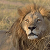 "The undisputed King Of The Jungle.  Lions have absolutely nothing to fear except humans.  That's a big ""except"".  This is one of 2 powerful brothers who rule this territory."