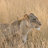 The 2 brothers, along with this lioness and one more, form the local pride.  This lioness has 2 cubs