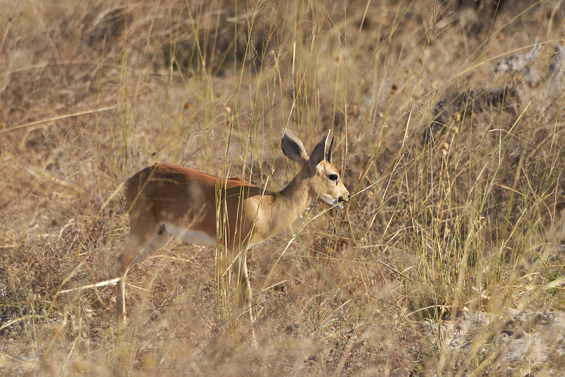 Dik dik, a very tiny antelope.  Shoulder height is around 15 inches