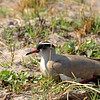 This crowned plover had chosen a very poor location for her nest, just inches from the dirt track used by jeeps.  However, read along for the happy ending.
