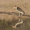 One of the many maribu storks
