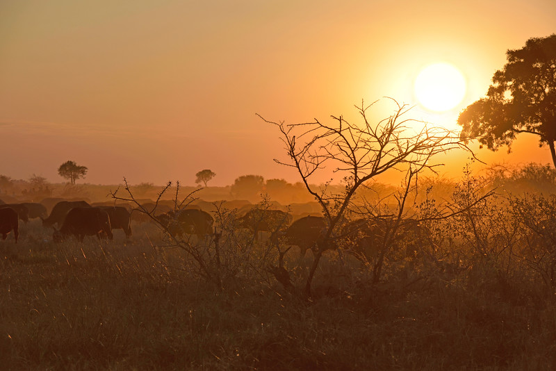 Sunset with buffalo
