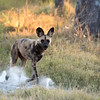 The pack went off into thick mopane forest to hunt, so we did the sensible thing and stopped for sundowners :)
