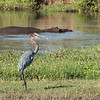 Goliath heron.  As the name implies, this is a huge bird (up to 5 feet tall).