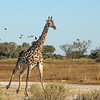 Giraffe on the move.