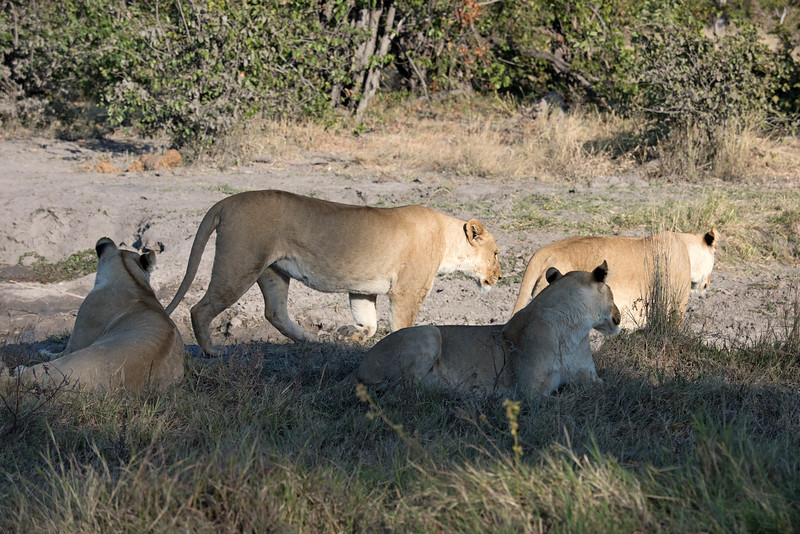 Four young lionesses, part of a larger pride which moves through Machaba.