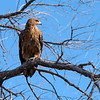 Tawny eagle, often the first to arrive at a kill.