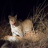 "Night drives are just great.  Nocturnal animals, such as this female leopard, come alive after dark.  She was feeding on a fresh reedbuck kill.  David and I noted that reedbucks seem to be the favorite prey of many animals.  Our guide explained that's because reedbucks are found, ahem, in reeds. ""In reeds"" means in shallow water surrounded by tall reeds which provide excellent cover for predators.  Oh...."