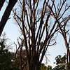 This tree is full of baboons trying to stay out of harm's way.  A predator, probably our leopard, was nearby.
