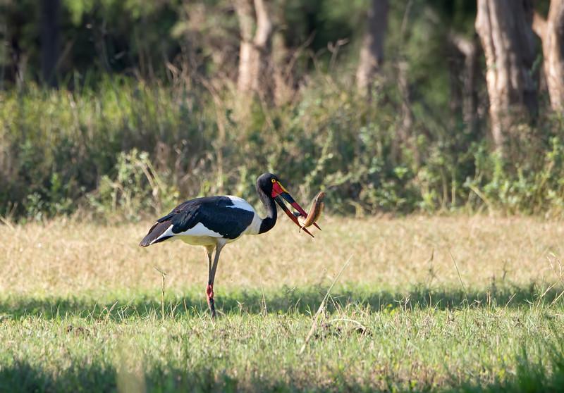 Saddle-billed stork with a large catfish