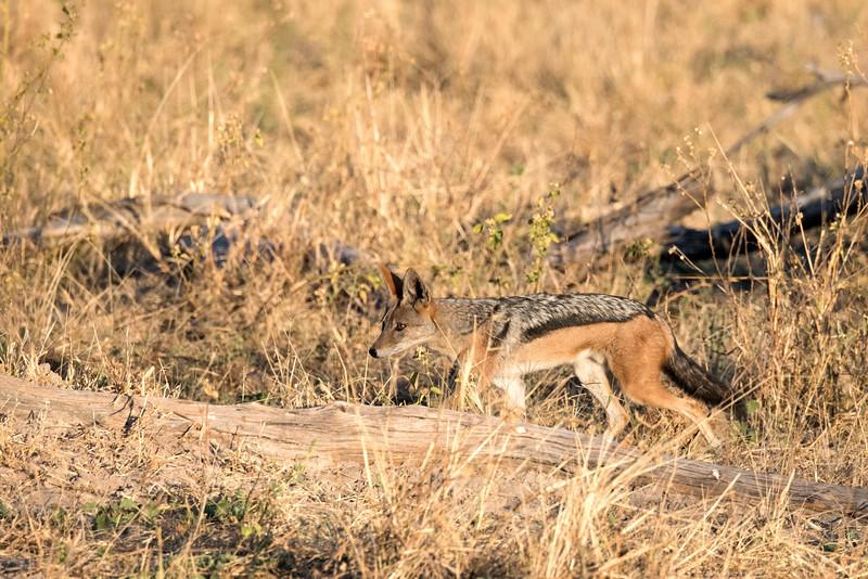 Side-striped jackal hunting.