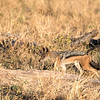 Side-striped jackal hunting.