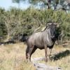 Wildebeest (aka gnu)