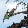 This pair of white-fronted bee-eaters hunted from a tree right in front of our tent.  They were incredibly efficient, scoring an insect almost every time they took flight.