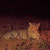 We'd seen this leopard earlier, but she was barely visible in thick underbrush.