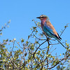 My personal favorite African bird, the lilac-breasted roller, very common in the south.