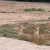 The lioness called for the cubs' father the entire time we were there, but as you'll see in a bit, he was busy.