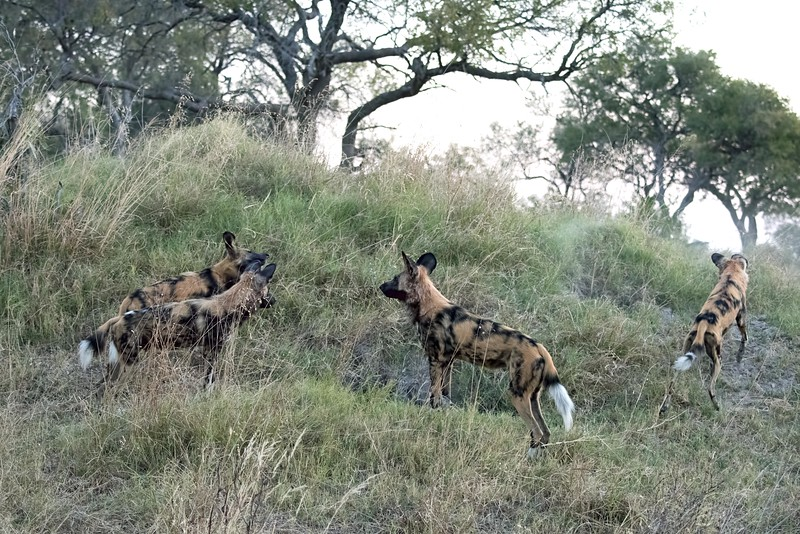 Within just a few minutes, the adults had trapped a warthog in a burrow, but the burrow was deep and the dogs moved on.