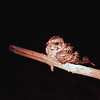 We arrived just in time for a night drive.  This is a nightjar.  Unlike camps in Botswana, camps in Zambia use red light illumination for night drives.  The theory is red light doesn't disturb wildlife.  The jury is still out on that one.  The one thing that isn't up for debate is just how difficult it is to photograph when red-light lanterns provide the only light.  The image of this bird that came out of the camera was bright cherry red with little visible detail.  Have to give credit to modern cameras for capturing more detail than even the human eye can see (and to Photoshop for allowing me to retrieve it).