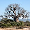 A beautiful baobab tree