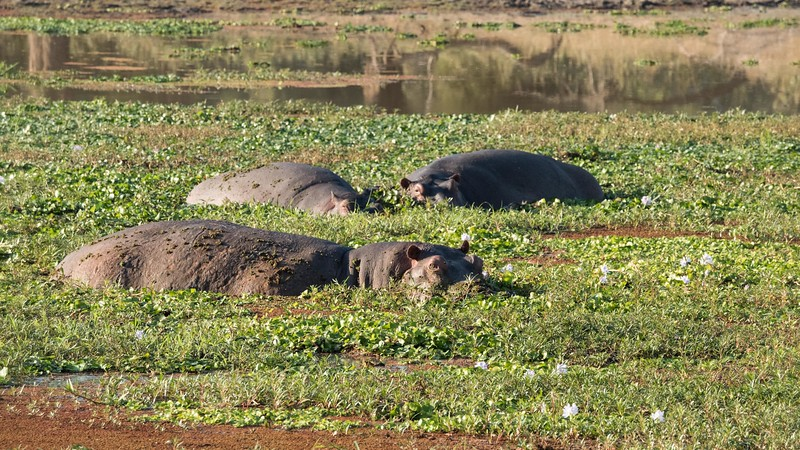 Hippos spend the day submerged to protect their delicate skin.  When the sun goes down, they move onto land to graze on vegetation.